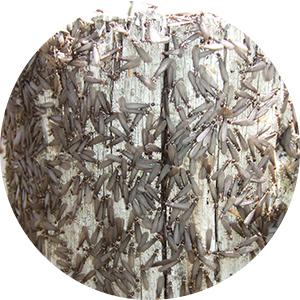 シロアリの種類と生態