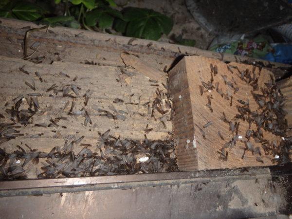 ヤマトシロアリの羽アリの群飛の季節